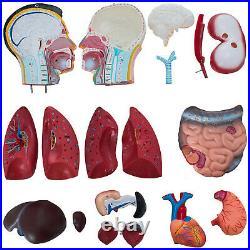 Anatomical Anatomy Teaching Model 33.5 Tall Human Torso Organ 19 Parts Male