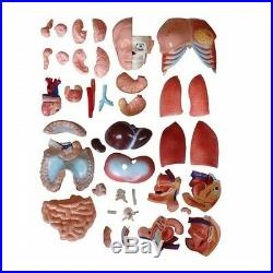 Human 85cm Unisex Torso Anatomical Model 40 Parts Life Size Medical Anatomy