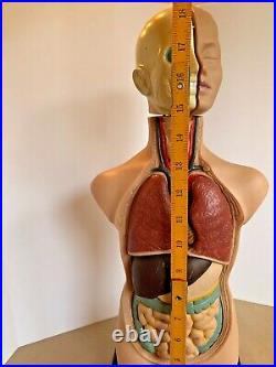 Human Torso Body Organ Anatomy Model Parts Head Brain Heart Lung Medical Science
