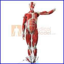Medical Anatomical Model Muscles of Male Man Muscles 18 Parts 781216cm