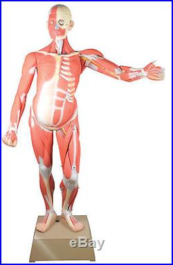 Muscular Human Anatomy Model Life Size (36 Parts) - 66.5 Model Height