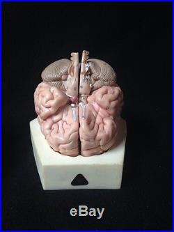 SOMSO Brain Model Natural cast BS22 4 Parts Anatomical Model BS 22
